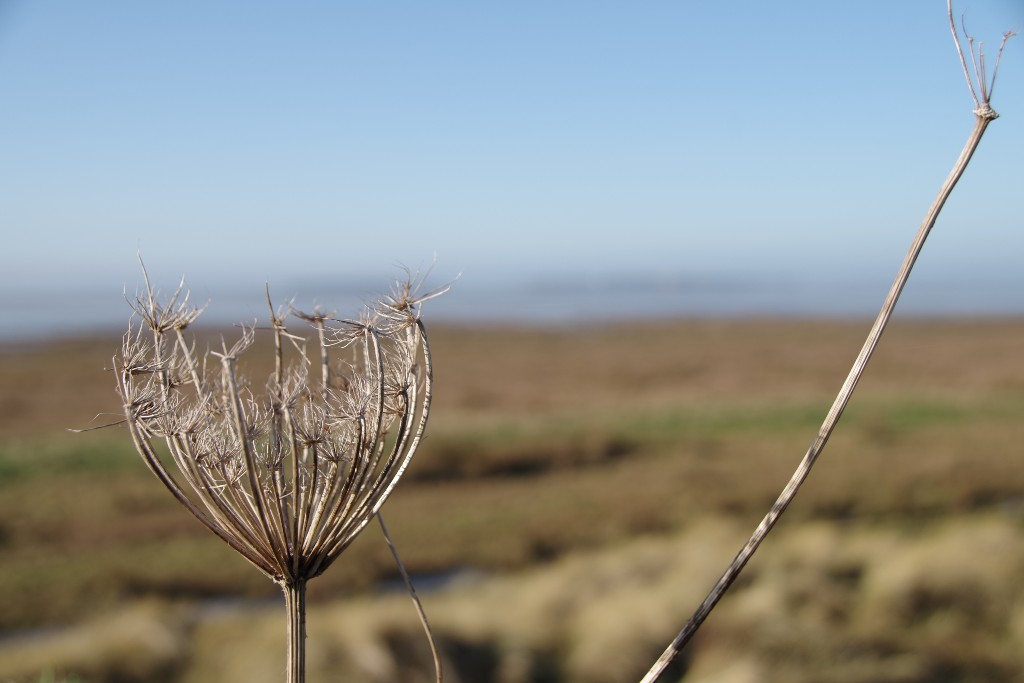 Seed Head at the Mouth of the Dee