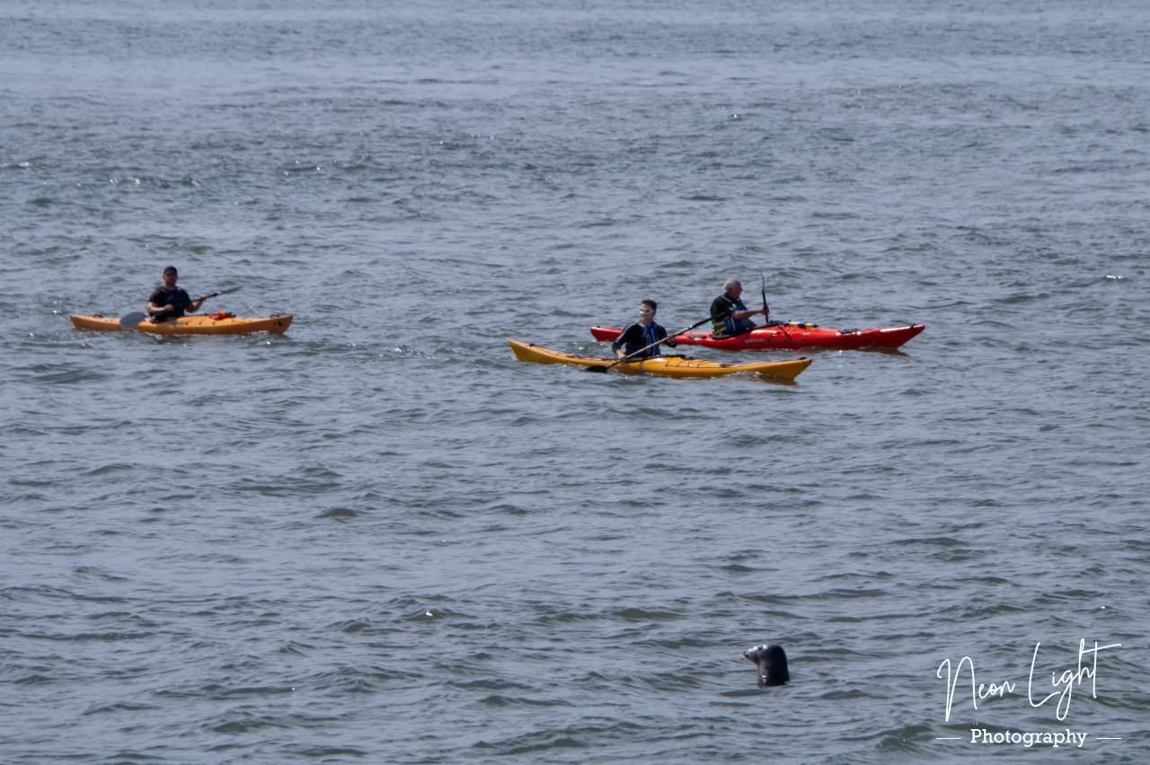 The Seal and the Kayaks