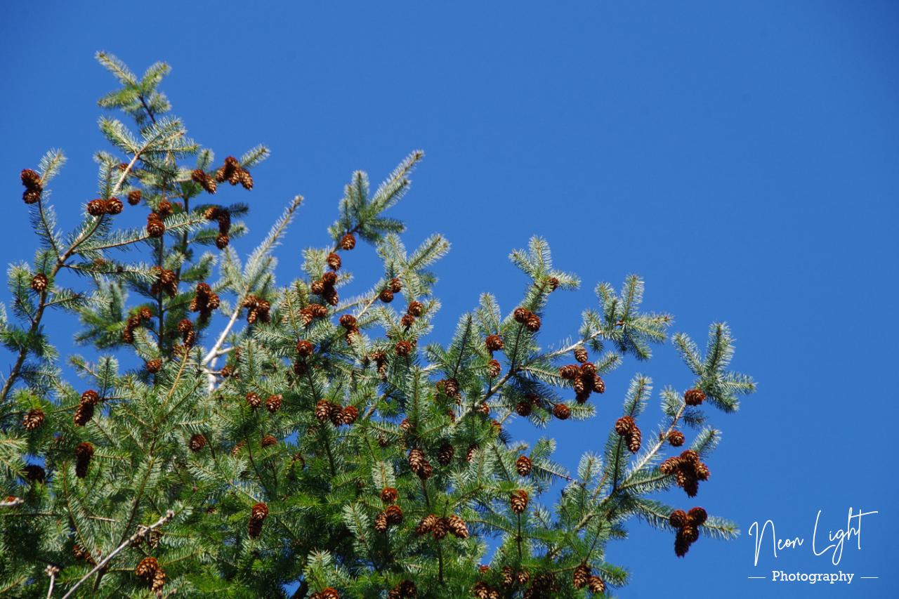 Fir Tree Against the Deep Blue Sky
