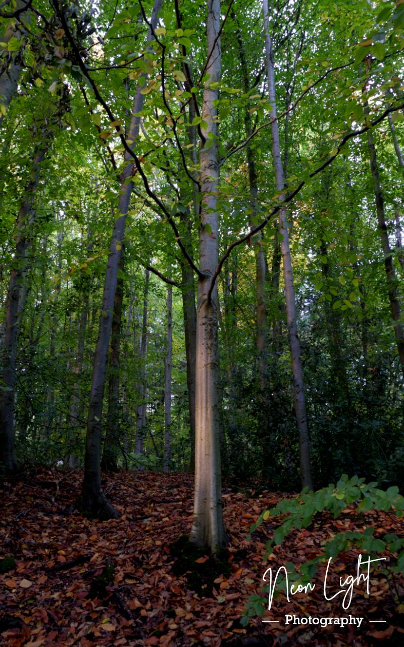 Autumn Towering Elm