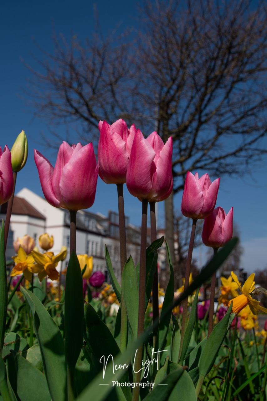Pink Hoylake Tulips