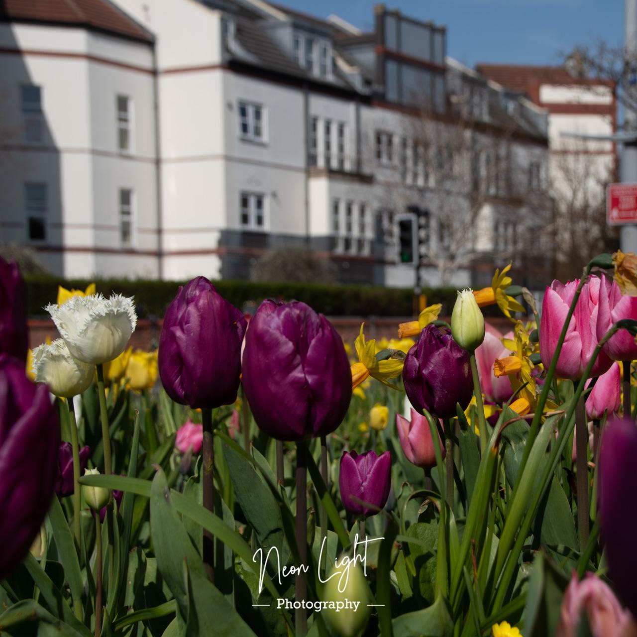 Hoylake Spring Tulips