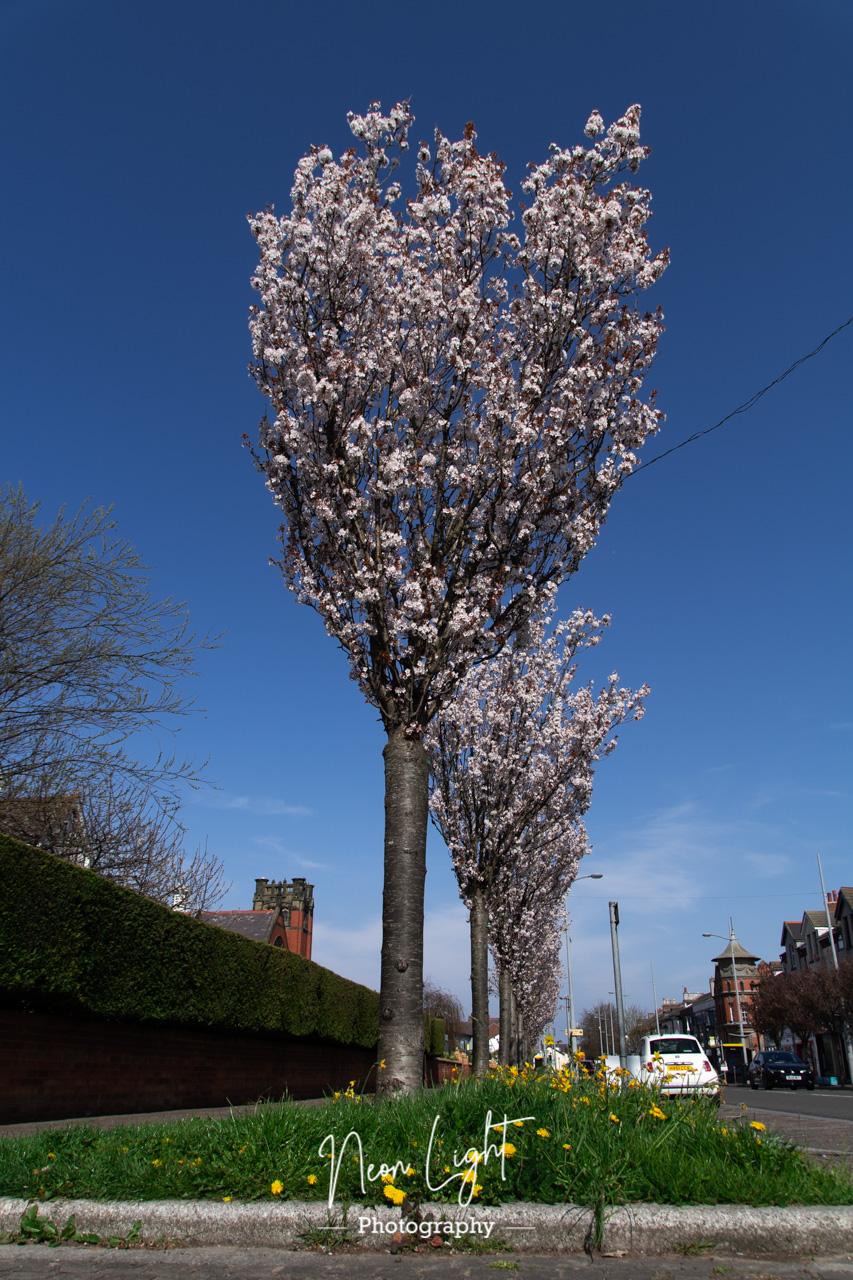 Blossom Tree Avenue