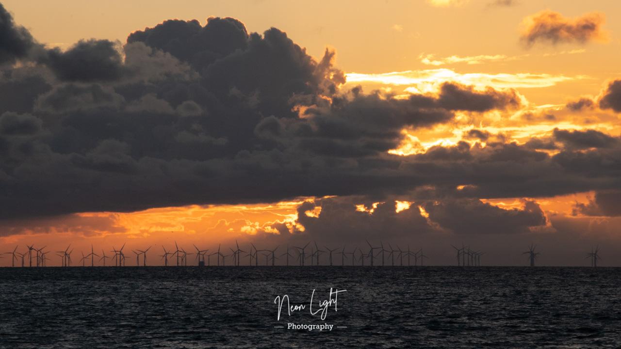 Golden Windmill Rays