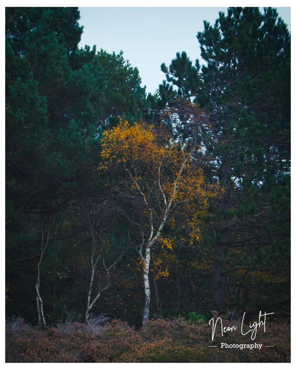 Royden Silver Birch